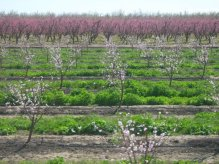 almond tree grove