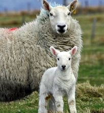 lamb and sheep